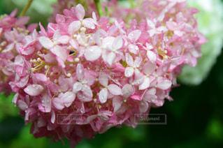 紫陽花と水滴の写真・画像素材[2117783]