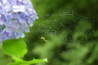 雨,屋外,緑,あじさい,水,水滴,蜘蛛の巣,紫陽花,水玉,クモの巣,クモ,蜘蛛の糸,雫,蜘蛛,しずく,雨粒,日中,アジサイ,クモの糸