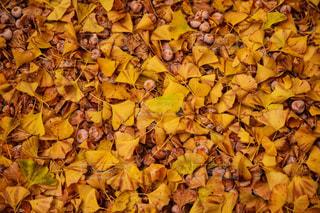 銀杏の落ち葉と実の写真・画像素材[2512015]