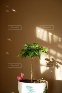 コーヒーの木の写真・画像素材[2738574]