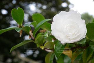 山茶花と玉ボケの写真・画像素材[2824323]