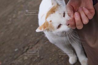 猫,動物,屋外,白,手,オレンジ,ペット,人物,地面,ネコ,猫の日,擦り寄る