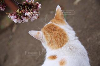 猫,花,桜,動物,屋外,白,かわいい,後ろ姿,オレンジ,ペット,人物,ネコ