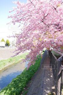 花,春,桜,屋外,川,満開,樹木,道,河津桜,草木,ブロッサム