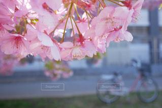 花,春,桜,自転車,景色,満開,河津桜,さくら,ブロッサム