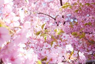 花,春,桜,ピンク,景色,満開,お花見,河津桜,さくら,ブロッサム