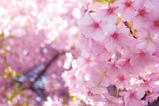 花,春,木,ピンク,景色,花びら,満開,河津桜,草木,桜の花,さくら,ブルーム,ブロッサム