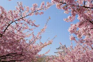 空,花,春,桜,木,屋外,青空,城,花見,満開,樹木,お花見,イベント,河津桜,桜の花,さくら,ブロッサム,宇都宮城址公園