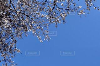 空,花,春,桜,木,屋外,青空,青,青い空,花びら,樹木,蕾,群れ,草木,桜の木,ソメイヨシノ