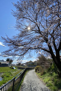 風景,空,花,春,桜,木,屋外,太陽,青空,小道,草,樹木,川沿い,細道,桜の木,ソメイヨシノ
