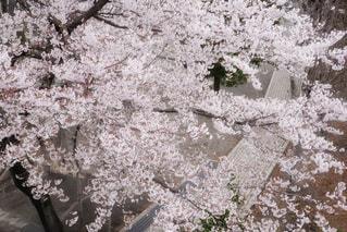 ソメイヨシノの写真・画像素材[3064477]