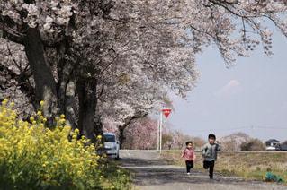 桜並木と仲良し兄妹の写真・画像素材[3076761]