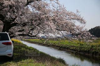 川の側に駐車している車と桜の写真・画像素材[3079991]