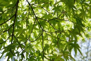 新緑のもみじの写真・画像素材[3146247]