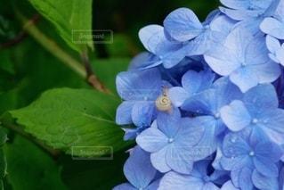 カタツムリと紫陽花の写真・画像素材[3387118]