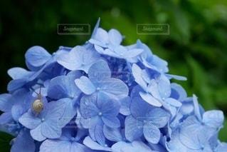 カタツムリと紫陽花の写真・画像素材[3387121]