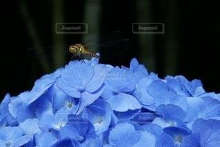 紫陽花とトンボの写真・画像素材[3387119]
