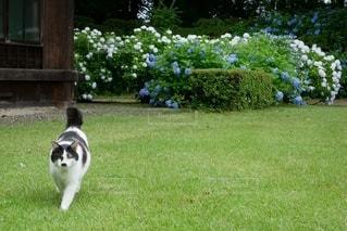 猫と紫陽花の写真・画像素材[3387122]