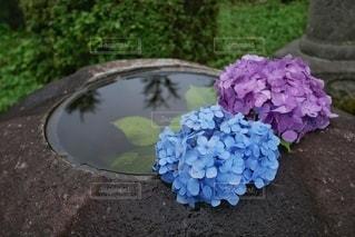 水に浮かぶ紫陽花の写真・画像素材[3389436]