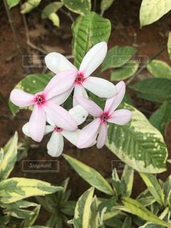 植物の白い花の写真・画像素材[1885928]