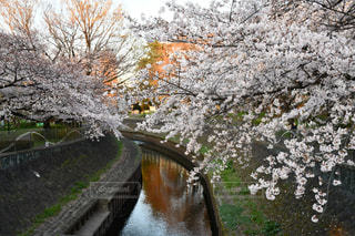 春,桜,夕方,善福寺川