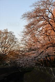 桜,夕方,善福寺川