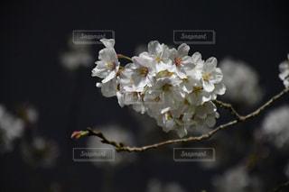 春,桜,夜,善福寺川