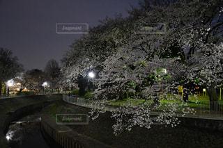 花,桜,夜,善福寺川