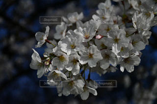 春,夜,桜の花,善福寺川