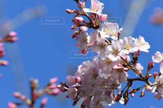 空,花,春,鮮やか,桜の花