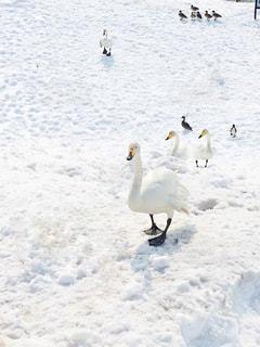 カモメの群れが雪の中に立っているの写真・画像素材[2831042]