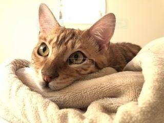 猫,動物,屋内,茶色,オレンジ,寝転ぶ,ねこ,毛布,ベージュ,ミルクティー,黄金,ベンガル,ミルクティー色