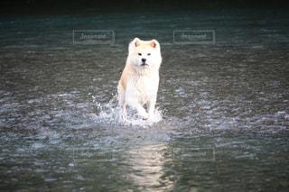 犬,夏,わんこ,秋田犬,わんわん,わんちゃん,川遊び,日本犬,夏の日