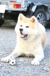 犬,夏,庭,わんこ,秋田犬,わんわん,わんちゃん,日本犬,夏の日