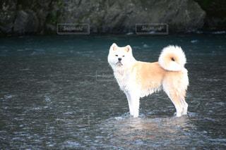 犬,夏,動物,わんこ,秋田犬,凛々しい,わんわん,わんちゃん,川遊び,日本犬,夏の日