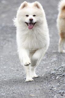 犬,動物,わんこ,秋田犬,わんわん,わんちゃん,川遊び,日本犬