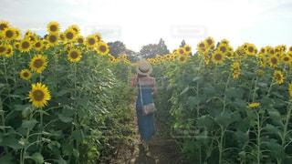 女性,20代,風景,花,夏,ワンピース,ひまわり,後ろ姿,散歩,向日葵,人物,背中,麦わら帽子,人,ひまわり畑,草木,向日葵畑,休暇,美,おしゃれ,カンカン帽