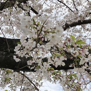桜の写真・画像素材[1956775]