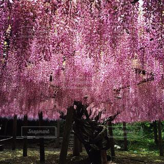 藤の花の写真・画像素材[1953425]