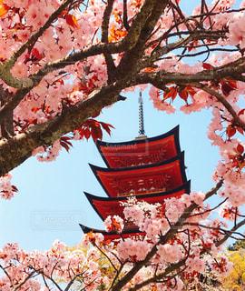 木の上のピンクの花のグループの写真・画像素材[3033647]