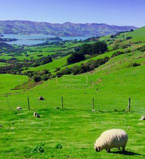 緑豊かな畑で放牧する羊の群れの写真・画像素材[3141128]