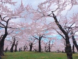 公園の大きな木の写真・画像素材[4211838]