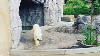 動物,屋外,かわいい,岩,オシャレ,可愛い,コンクリート,地面,動物園,石,お洒落,白くま,シロクマ,クマ,おしゃれ,北極熊