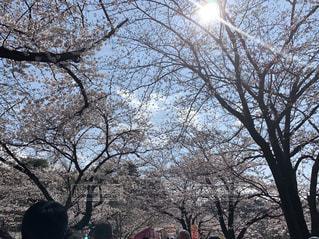 自然,空,公園,花,春,桜,木,屋外,太陽,青空,花見,樹木,お花見,イベント,休日,陽の光,日中,さくら,ブロッサム