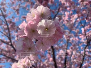 空,花,春,桜,木,ピンク,晴れ,青空,花見,花びら,鮮やか,樹木,お花見,イベント,快晴,桜の花,日中,さくら