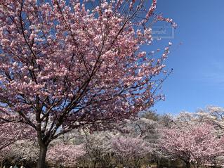 空,公園,花,春,桜,木,屋外,ピンク,晴れ,青空,花見,景色,樹木,お花見,イベント,快晴,さくら