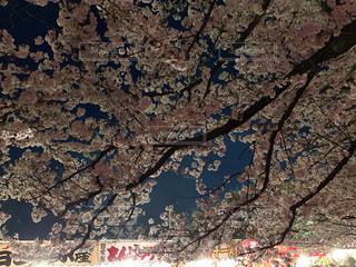 空,公園,花,春,桜,夜,木,屋台,花見,夜桜,樹木,お花見,イベント,野外