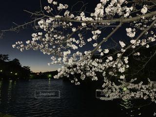 公園,花,春,夕日,桜,夜,木,屋外,湖,夕焼け,水面,夕方,花見,夜桜,樹木,お花見,イベント,夕陽,さくら