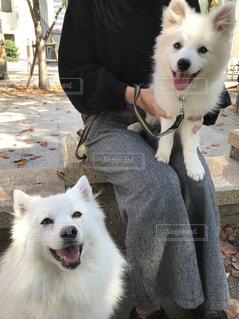 犬,公園,動物,白,散歩,笑顔,日本スピッツ