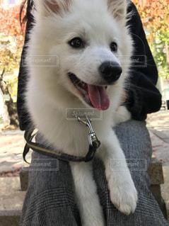 犬,公園,動物,白,散歩,休憩,笑顔,日本スピッツ